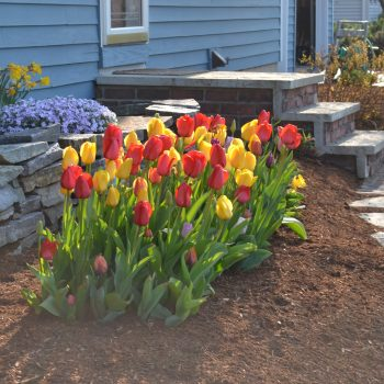 Tulips from American Meadows - Year of the Tulip - National Garden Bureau
