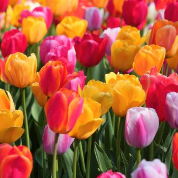 Tulips Rainbow from American Meadows customer photo - Year of the Tulip - National Garden Bureau