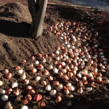 Planting Tulips from American Meadows - Year of the Tulip - National Garden Bureau