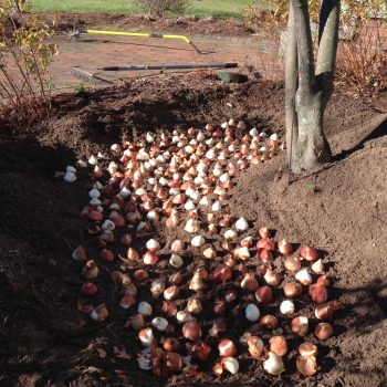 Tulip Planting from American Meadows - Year of the Tulip - National Garden Bureau