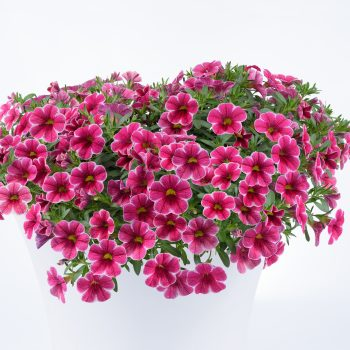 Calibrachoa Colibri Cherry Lace from Danziger - Year of the Calibrachoa - National Garden Bureau