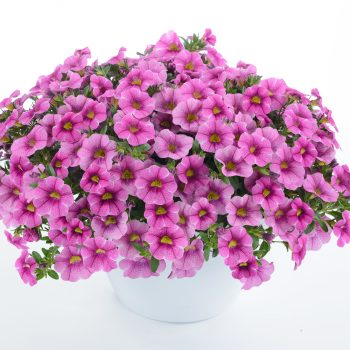 Calibrachoa Colibri Pink Lace from Danziger - Year of the Calibrachoa - National Garden Bureau