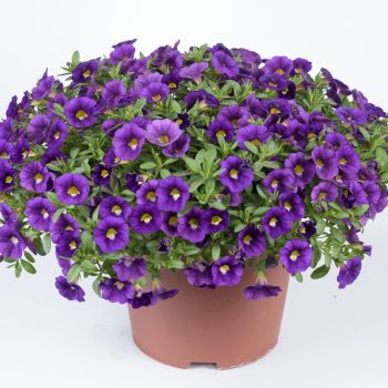 Calibrachoa Colibri Plum from Danziger - Year of the Calibrachoa - National Garden Bureau