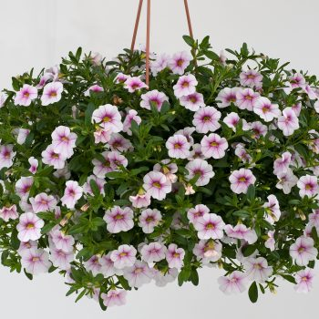 Calibrachoa NOA Almond Blossom from Danziger - Year of the Calibrachoa - National Garden Bureau