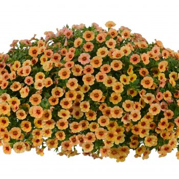Calibrachoa NOA Apricot from Danziger - Year of the Calibrachoa - National Garden Bureau