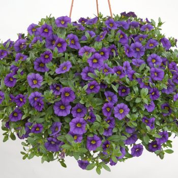 Calibrachoa NOA Blue Legend from Danziger - Year of the Calibrachoa - National Garden Bureau