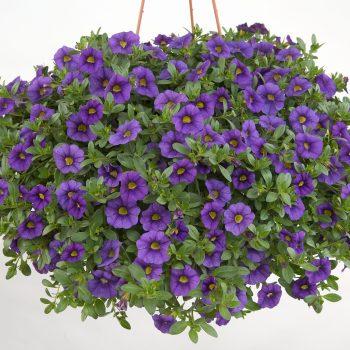 Calibrachoa NOA Blue Legend from Danziger - Year of the Calibrachoa - National Garden Bureau
