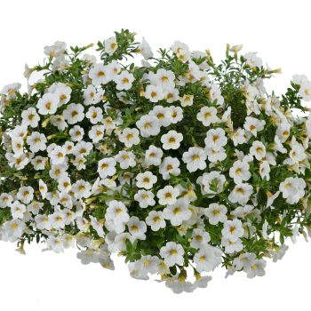 Calibrachoa NOA Cherry Blossom from Danziger - Year of the Calibrachoa - National Garden Bureau