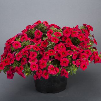 Calibrachoa NOA Red Improved from Danziger - Year of the Calibrachoa - National Garden Bureau