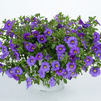 Calibrachoa NOA Mega Violet from Danziger - Year of the Calibrachoa - National Garden Bureau