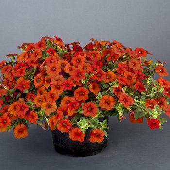 Calibrachoa NOA Papaya from Danziger - Year of the Calibrachoa - National Garden Bureau