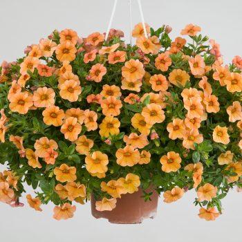 Calibrachoa NOA Peach from Danziger - Year of the Calibrachoa - National Garden Bureau