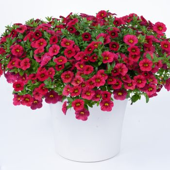 Calibrachoa NOA Raspberry from Danziger - Year of the Calibrachoa - National Garden Bureau