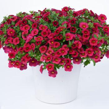 Calibrachoa NOA Raspberry from Danziger - Year of the Calibrachoa - National Garden Bureau