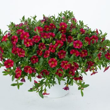 Calibrachoa NOA Red Wine from Danziger - Year of the Calibrachoa - National Garden Bureau