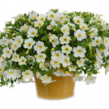 Calibrachoa NOA Snow from Danziger - Year of the Calibrachoa - National Garden Bureau