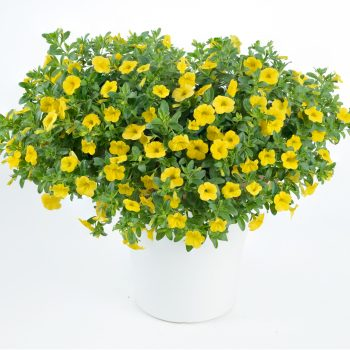 Calibrachoa NOA Sunlight from Danziger - Year of the Calibrachoa - National Garden Bureau