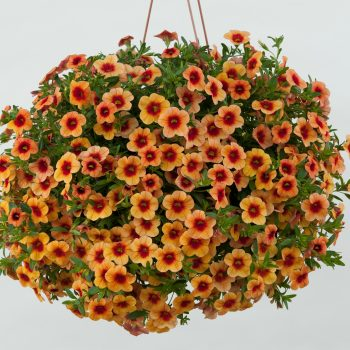 Calibrachoa NOA Sunset from Danziger - Year of the Calibrachoa - National Garden Bureau