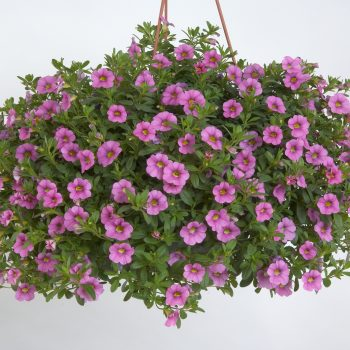 Calibrachoa NOA Ultimate Pink from Danziger - Year of the Calibrachoa - National Garden Bureau