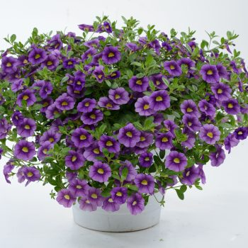 Calibrachoa NOA Violet from Danziger - Year of the Calibrachoa - National Garden Bureau