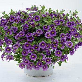 Calibrachoa NOA Violet from Danziger - Year of the Calibrachoa - National Garden Bureau