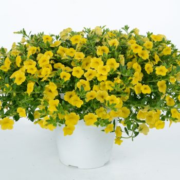 Calibrachoa NOA Yellow from Danziger - Year of the Calibrachoa - National Garden Bureau