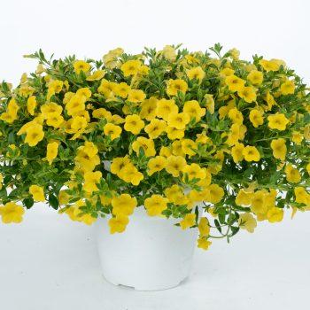 Calibrachoa NOA Yellow from Danziger - Year of the Calibrachoa - National Garden Bureau