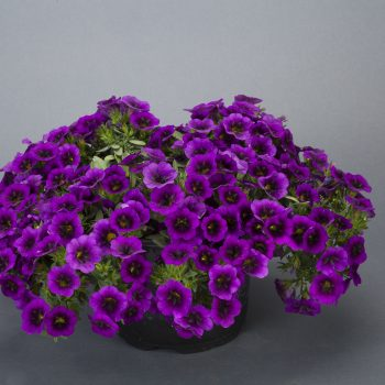 Calibrachoa NOA Ultra Purple from Danziger - Year of the Calibrachoa - National Garden Bureau