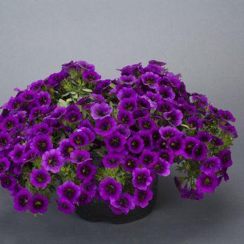 Calibrachoa NOA Ultra Purple from Danziger - Year of the Calibrachoa - National Garden Bureau