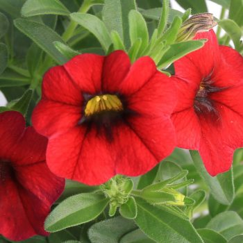 Calibrachoa Callie Dark Red from Syngenta - Year of the Calibrachoa - National Garden Bureau
