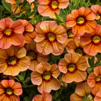 Calibrachoa Callie Apricot from Syngenta - Year of the Calibrachoa - National Garden Bureau