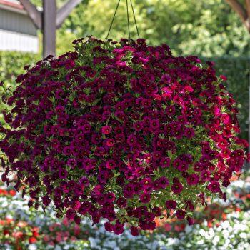 Calibrachoa Callie Burgundy from Syngenta - Year of the Calibrachoa - National Garden Bureau