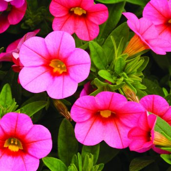 Calibrachoa Callie Coral Pink from Syngenta - Year of the Calibrachoa - National Garden Bureau
