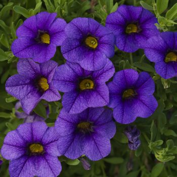 Calibrachoa Callie Dark Blue from Syngenta - Year of the Calibrachoa - National Garden Bureau