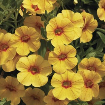 Calibrachoa Callie Gold with Red Eye from Syngenta - Year of the Calibrachoa - National Garden Bureau