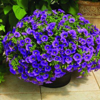 Calibrachoa Callie Light Blue from Syngenta - Year of the Calibrachoa - National Garden Bureau