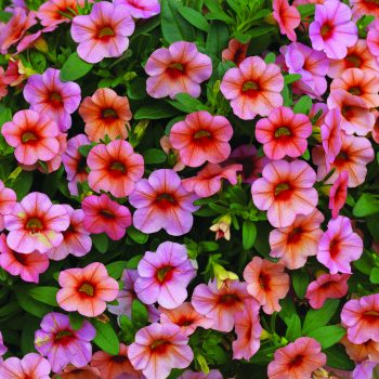 Calibrachoa Callie Mango from Syngenta - Year of the Calibrachoa - National Garden Bureau