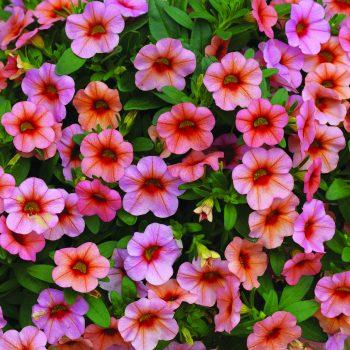 Calibrachoa Callie Mango from Syngenta - Year of the Calibrachoa - National Garden Bureau