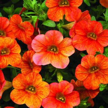 Calibrachoa Callie Orange Sunrise from Syngenta - Year of the Calibrachoa - National Garden Bureau