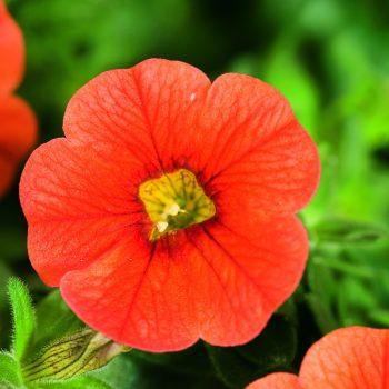 Calibrachoa Callie Orange from Syngenta - Year of the Calibrachoa - National Garden Bureau