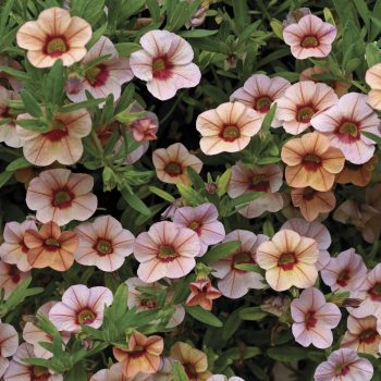 Calibrachoa Callie Peach from Syngenta - Year of the Calibrachoa - National Garden Bureau