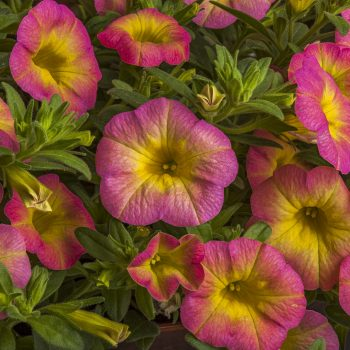 Calibrachoa Callie Pink Morn from Syngenta - Year of the Calibrachoa - National Garden Bureau
