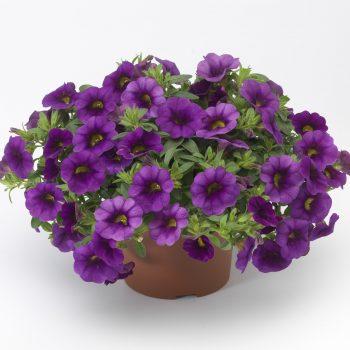 Calibrachoa Callie Purple from Syngenta - Year of the Calibrachoa - National Garden Bureau