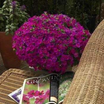 Calibrachoa Callie Rose I from Syngenta - Year of the Calibrachoa - National Garden Bureau