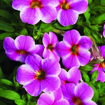 Calibrachoa Callie Star Pink from Syngenta - Year of the Calibrachoa - National Garden Bureau