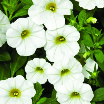 Calibrachoa Callie White from Syngenta - Year of the Calibrachoa - National Garden Bureau
