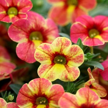 Calibrachoa Chameleon Indian Summer from Dummen Orange