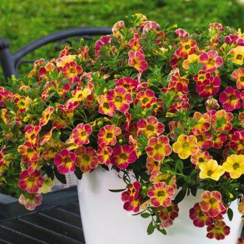 Calibrachoa Chameleon Sunshine Berry from Dummen Orange - Year of the Calibrachoa - National Garden Bureau