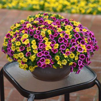 Calibrachoa Conga Deep Yellow and Rose Kiss from Ball Flora Plant - Year of the Calibrachoa - National Garden Bureau