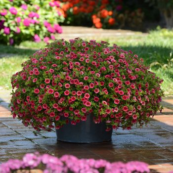 Calibrachoa Crave Strawberry Star from Pan American Seed - Year of the Calibrachoa - National Garden Bureau